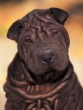 Black Shar Pei Puppy Portrait Showing Wrinkles Face and Chest Poster by Adriano Bacchella