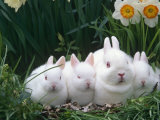 Family of Albino Netherland Dwarf Rabbits, USA Posters by Lynn M. Stone
