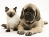 English Mastiff Puppy with Young Birman-Cross Cat Photographic Print by Jane Burton