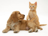 Ginger Kitten with Golden Cocker Spaniel Puppy Photographic Print by Jane Burton
