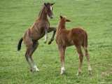 Two Thoroughbred Colt Foals, Playing, Virgina Posters by Carol Walker