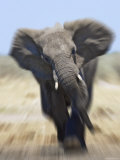 African Elephant, Charging Abstract, Etosha National Park, Namibia Prints by Tony Heald