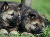 Norwegian Elkhound Puppies Lying in Grass Photographic Print by Adriano Bacchella