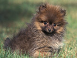 Pomeranian Puppy on Grass Posters by Adriano Bacchella