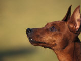 Miniature Pinscher Looking Up Prints by Adriano Bacchella
