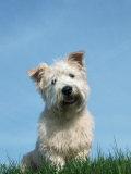 Head Portrait of Irish Glen of Imaal Terrier Dog Posters by Petra Wegner