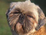 Shih Tzu Puppy Portrait Photographic Print by Adriano Bacchella