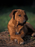 Rhodesian Ridgeback Puppy with Front Paws Crossed Prints by Adriano Bacchella