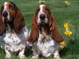 Two Basset Hounds, Domestic Dog,Amongst Daffodils, USA Photographic Print by Lynn M. Stone