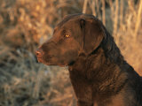 Head Profile Portrait of Chesapeake Bay Retriever, Wisconsin, USA Photographic Print by Lynn M. Stone