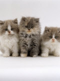 Domestic Cat, 9-Week Kittens, Persian Cross, Lilac Bicolour and Blue Cream Photo by Jane Burton