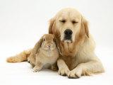 Sandy Lop Rabbit Cuddling up with Sleepy Golden Retriever Bitch Photo by Jane Burton