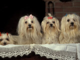 Four Maltese Dogs Sitting Together with One Lying Down Photo by Adriano Bacchella
