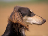 Saluki Profile Photo by Adriano Bacchella