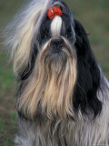 Shih Tzu Portrait with Hair Tied Up, Showing Length of Facial Hair Premium Photographic Print by Adriano Bacchella
