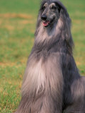Grey Afghan Hound Sitting Photographic Print by Adriano Bacchella