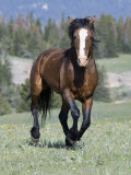 Wild Horse, Bay Stallion Cantering Portrait, Pryor Mountains, Montana, USA Photographic Print by Carol Walker