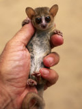 Russet Mouse Lemur, Held in Hand to Show Small Size, Kirindy, Madagascar Premium Photographic Print by Pete Oxford