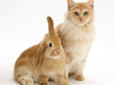 Red Silver Turkish Angora Cat with Sandy Lop Rabbit Photo by Jane Burton