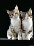 Domestic Cat, Two 8-Week Tabby Tortoiseshell and White Kittens Posters van Jane Burton