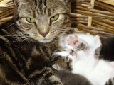 Domestic Cat, 2-Week Tabby and White Kitten Plays with Her Mother's Whiskers in Basket Photo by Jane Burton