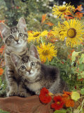 10-Week, Short-Haired Ticked Tabby Kittens with Nasturtiums, Montbretia and Yellow Daisies Photo by Jane Burton