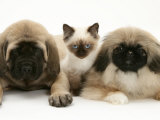 Pekingese and English Mastiff Puppies with Birman-Cross Kitten Prints by Jane Burton