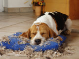 Beagle with Destroyed Pillow Photographic Print by  Steimer