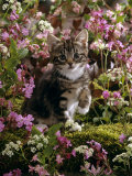 Domestic Cat, 8-Week, Tabby Among Red Campion and Hedge Parsley Photographic Print by Jane Burton