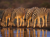 Four Common Zebra, Drinking at Water Hole, Etosha National Park, Namibia Photographic Print by Tony Heald