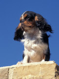 King Charles Cavalier Spaniel Adult Portrait on Wall Photographic Print by Adriano Bacchella