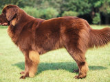 Brown Newfoundland Standing in Show Stack / Pose Posters by Adriano Bacchella
