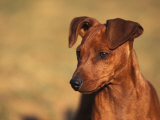 Miniature Pinscher Portrait Photographic Print by Adriano Bacchella