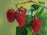 Raspberries Poster by Petra Wegner