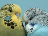 Budgerigar Pair Courting Photographie par Petra Wegner