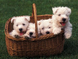 Domestic Dogs, Four West Highland Terrier / Westie Puppies in a Basket Photographic Print by Adriano Bacchella