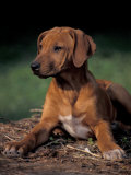 Rhodesian Ridgeback Puppy Photo by Adriano Bacchella