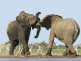 African Elephant, Bulls Fighting at Waterhole, Zebra in Background, Etosha National Park, Namibia Photo by Tony Heald