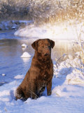 Chesapeake Bay Retriever Sitting in Snow by River, Illinois, USA Photo by Lynn M. Stone