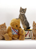 Domestic Cat, Two Ginger Kittens and a Tabby with Ginger Teddy Bear Prints by Jane Burton