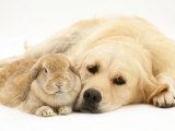 Sandy Lop Rabbit Resting with Golden Retriever Bitch Photographic Print by Jane Burton