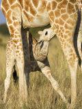 Reticulated Giraffe, Suckling Young, Laikipia, Kenya Posters by Tony Heald
