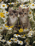 Domestic Cat, Burmese-Cross Kittens Among Ox-Eye Daisies and Buttercups Posters by Jane Burton