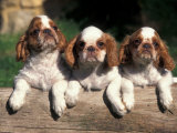 Three King Charles Cavalier Spaniel Puppies on Log Prints by Adriano Bacchella