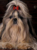 Shih Tzu Portrait with Hair Tied Up, Showing Length of Facial Hair Posters by Adriano Bacchella
