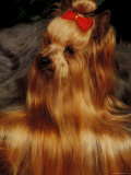 Yorkshire Terrier with Hair Tied up and More Hair Falling Over the Edge Posters by Adriano Bacchella