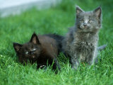 Two Maine Coon Kittens Photographic Print by Petra Wegner