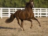 Chestnut Peruvian Paso Stallion Cantering in Field, Ojai, California, USA Photographic Print by Carol Walker
