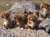 Domestic Dogs, Four Tibetan Spaniels on Rocks Photographic Print by Adriano Bacchella