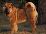 Shar Pei Portrait Showing the Curled Tail and Wrinkles on the Back Posters by Adriano Bacchella